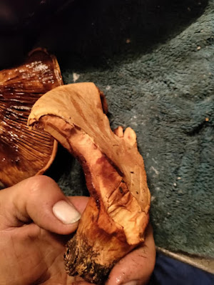 Red pine mushroom (Lactarius deliciosus)