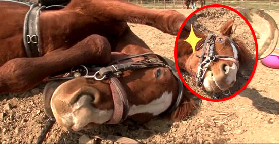 Cavalo que finge de morto toda vez que alguém tenta montá-lo faz sucesso na internet - Capa