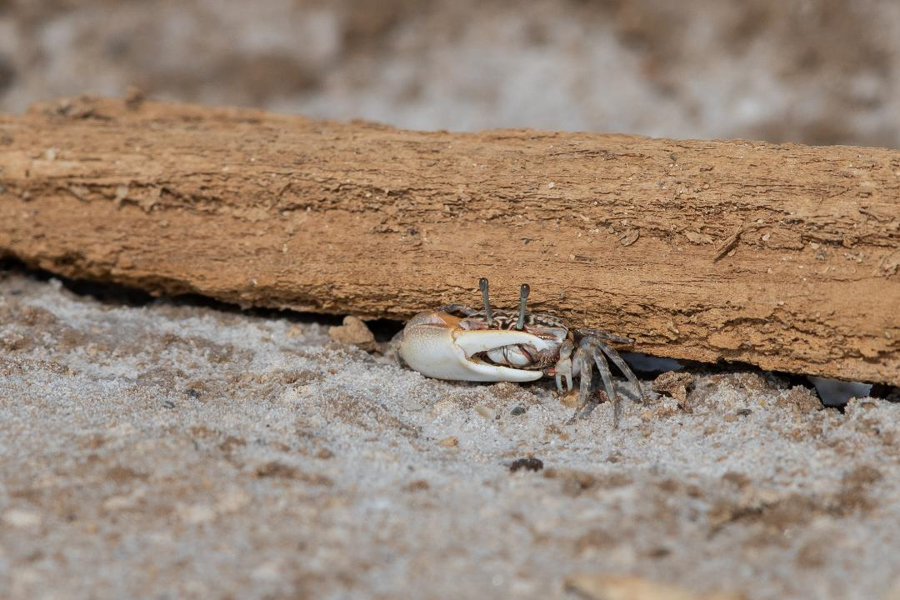 Inversed Fiddler Crab
