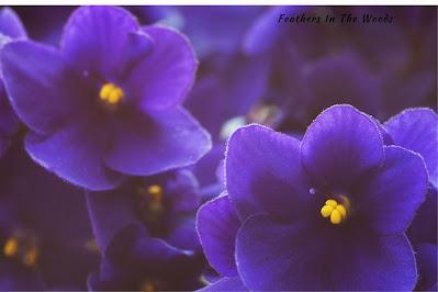 Purple african violet plant growing indoors