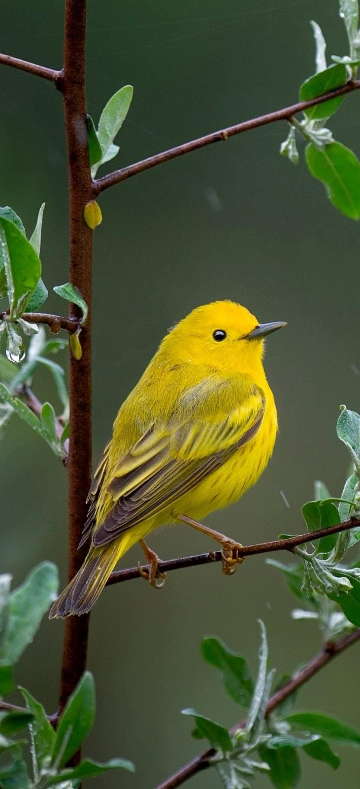 Beautiful yellow warbler bird.