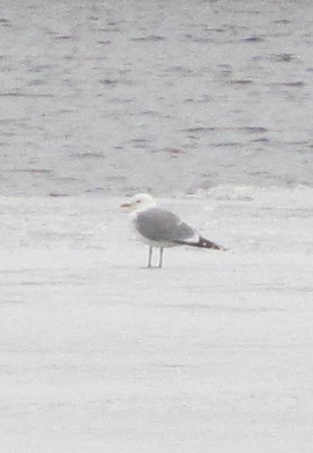 чайка на льду