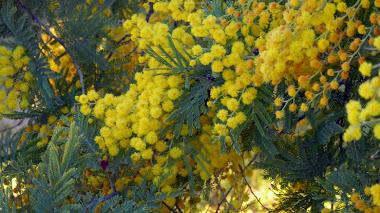 Acacia dealbata: mimosa e invasora
