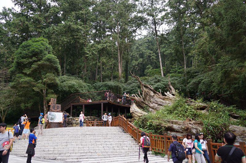 溪頭神木景觀台