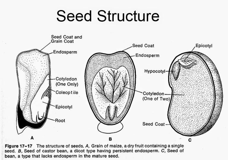 jackfruit seeds structure diagram bbe 1st grade science lab!: gardening & plant parts