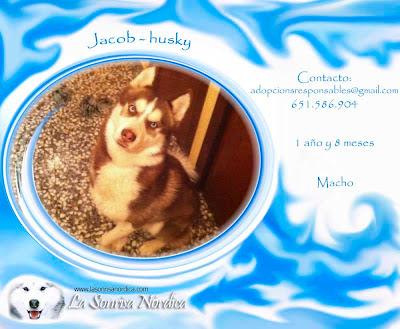 Adopción Husky Siberiano Jacob