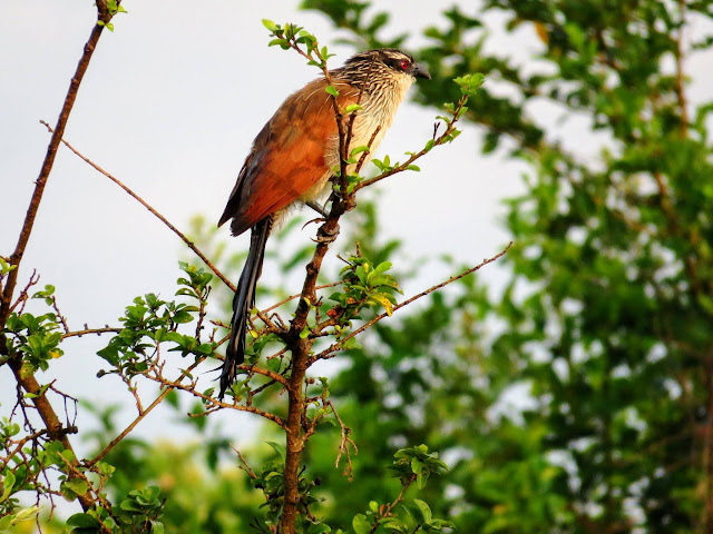 White-browed Coucal in Uganda