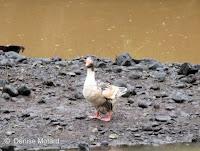 Muscovy Duck – Waimea Valley, Oahu – © Denise Motard