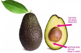 cara menanam biji alpukat yang benar,cara menanam alpukat agar cepat berbuah,cara menanam avocado,cara membuat bibit alpukat,cara membuat bibit buah alpukat,