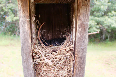 bluebird nestlings hiding from intruder
