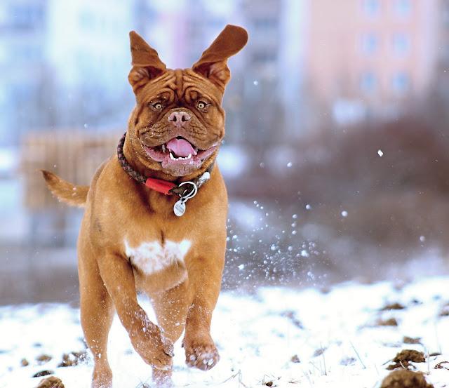 كلب الماستيف النابوليوني