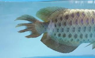 Penyakit Arwana Gigit Ekor Pada Ikan Arwana