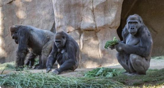 Gorillas becomes first known apes to test positive for coronavirus in US
