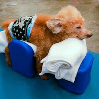 cães sem mobilidade