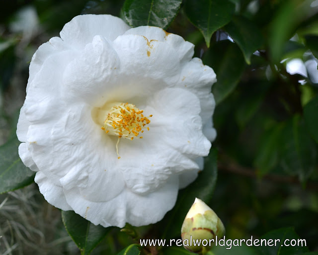 1-1-1-camellia%2Blovelight.JPG