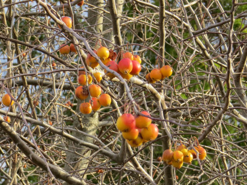 Golden Harvest crabapple