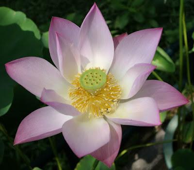 Flor de Loto Sagrada