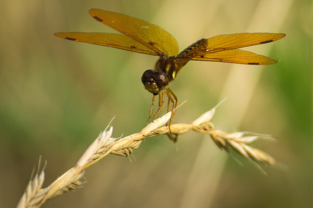 Eastern Amberwing, Cross Timbers Trail
