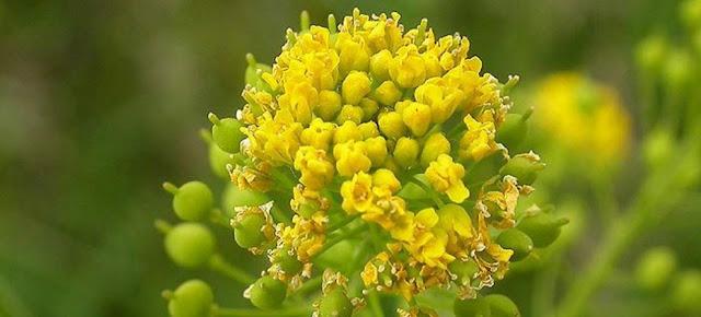 Neslia paniculata y plantas cruciferas