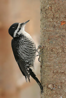 Black-backed Woodpecker while birding in Newfoundland