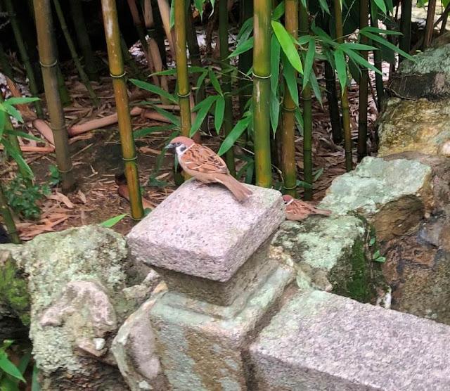 Pardal no Jardim Lou Lim Ioc - Macau
