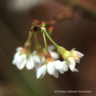 http://www.thenurseries.com/prunus-autumnalis-rosea-cherry-tree-p-3180.html