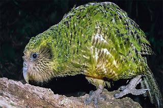 Kakapo Nasıl Bir Kuştur