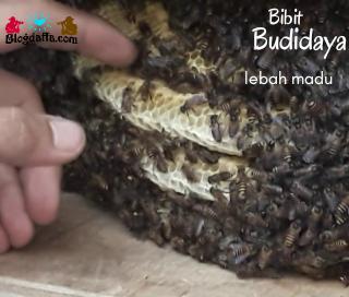 Memilih Bibit Lebah Madu
