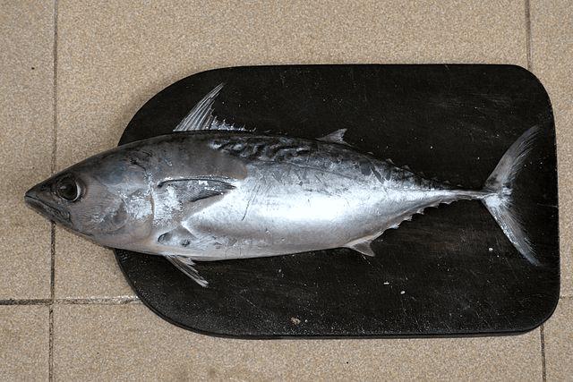 Ikan Tongkol, ikan kaya protein