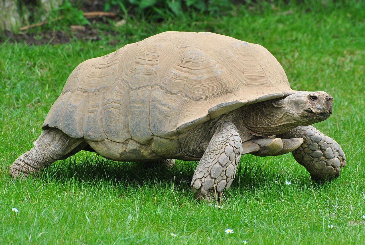 Jenis Kura – Kura African Spurred Tortoise