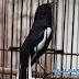 Perawatan stelan Khusus Burung Kacer Sebelum Lomba