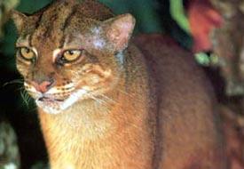 Gato da Baía de Bornéu (Catopuma badia)