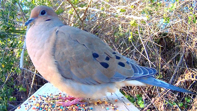 Mourning Dove Song Coo Call Sounds