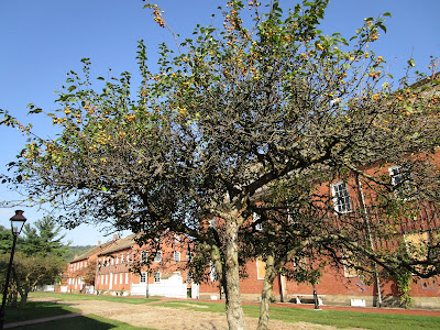 The leaves and fruit of a crabapple tree are set against a brilliant blue sky and stand next to a cobblestone street and two-story brick buildings.