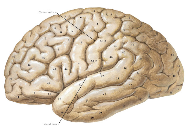 LATERAL VIEW OF THE FOREBRAIN: BRODMANN'S AREAS