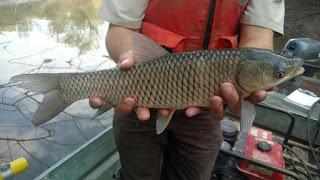 Grass Carp, Carp in Texas, Grass Carp in Texas, Texas Freshwater Fly Fishing, Texas Fly Fishing, Fly Fishing Texas, TFFF, Carp in Texas Part 3, Impact of Carp