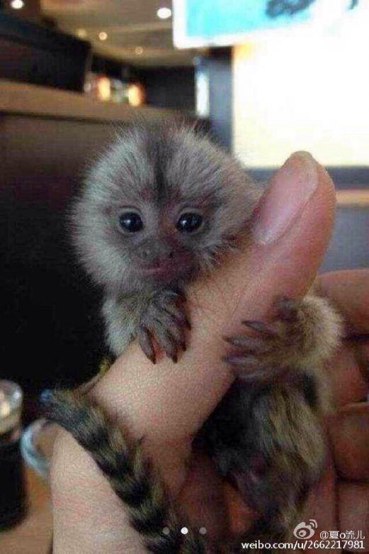 Monyet Kecil Jadi Hadiah Paling Bernilai di China