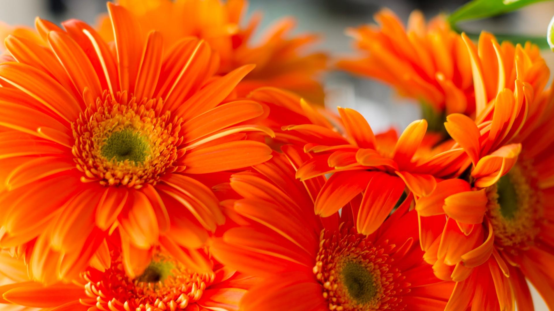 Orange daisies flowers 4k HD Wallpaper