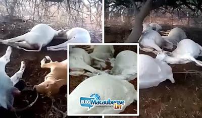 Durante forte chuva queda de raio mata 11 cabeças de gado no  município de   Bom Jesus da Lapa    . VÍDEO