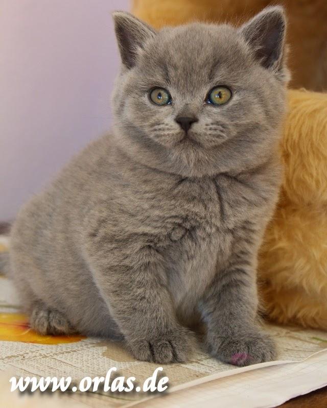 Britisch Kurzhaar Katzenbaby