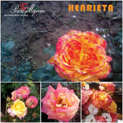 HENRIET - Henrietta Roze/žuta ruža. Hibridna čajevka