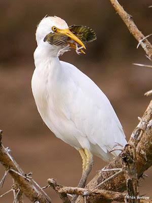 Garcita bueyera: Bubulcus ibis