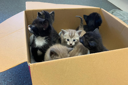 black-and-white and grey-and-white kittens in a cardboard box