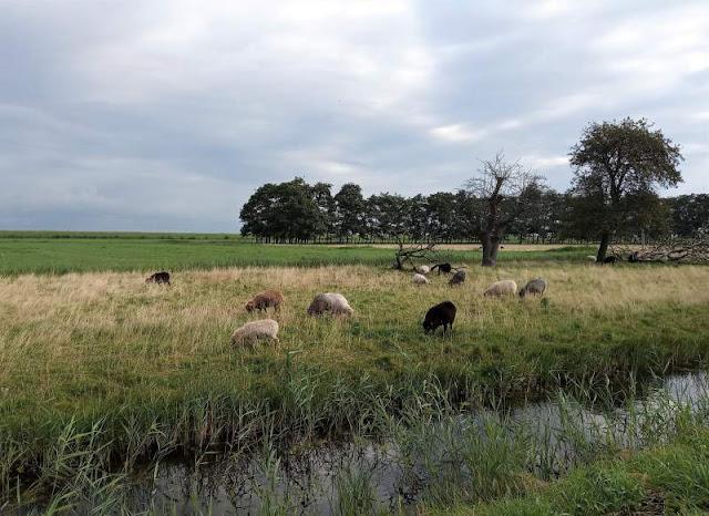 pecore al pascolo nelle campagne di Marken