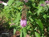 Butterfly bush - © Denise Motard