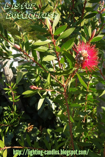 B is for Bottlebrush