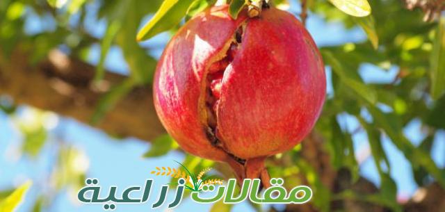 تشقق ثمار الرمان أسبابه وعلاجه  - مقالات زراعية
