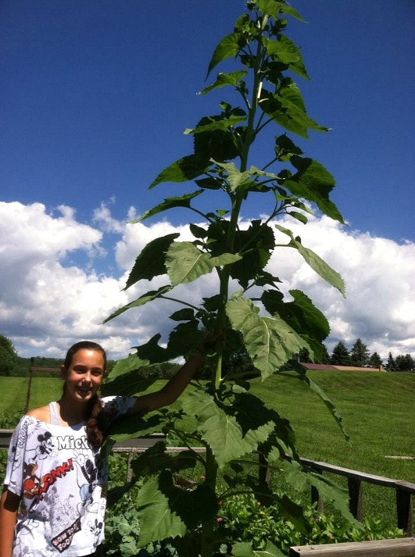 Gracie standing next to our largest sunflower.