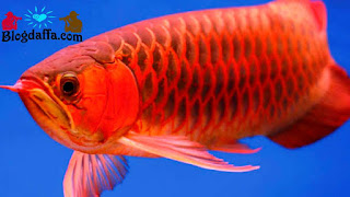 Ikan Arwana Dipercaya dapat Membawa Keberuntungan