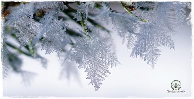 Gartenblog Topfgartenwelt Raureif: an Tannennadeln Eiskristalle